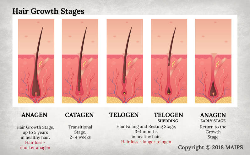 The cycle of anagen, catagen, telogen